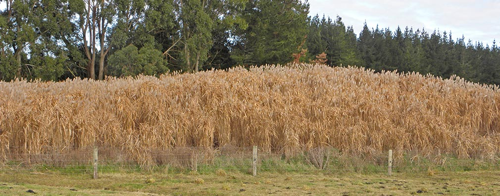 miscanthus-after-senescence