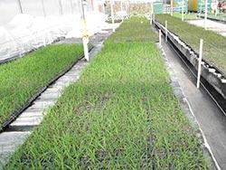 miscanthus-baby-plants