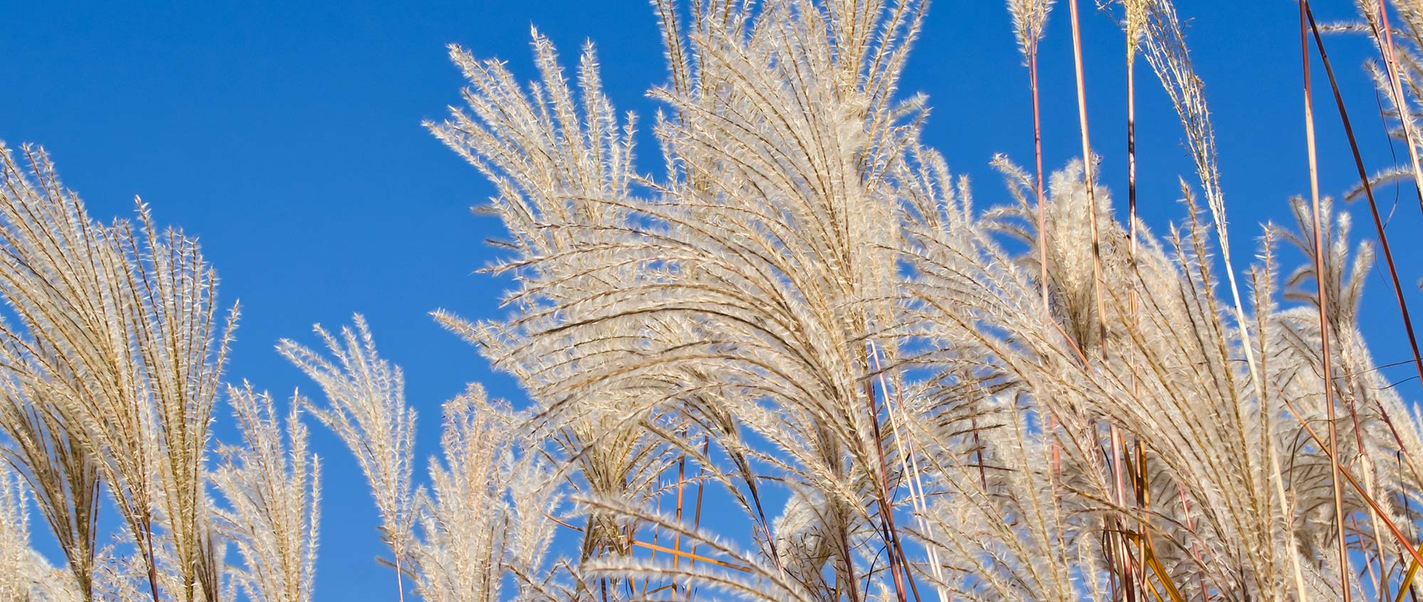 Miscanthus NZ