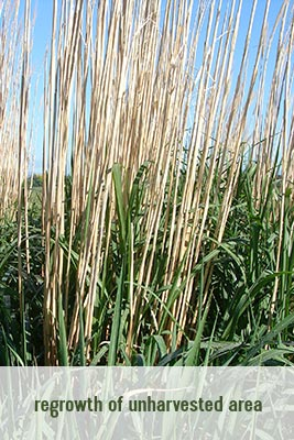 miscanthus-growing-season-regrowth