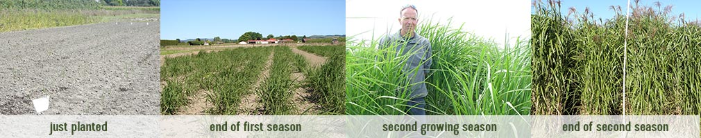 miscanthus-growing-season