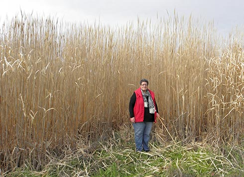 miscanthus-height-demonstration