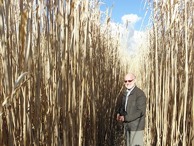 miscanthus-height-perspective