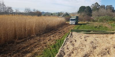 miscanthus-crop-nz