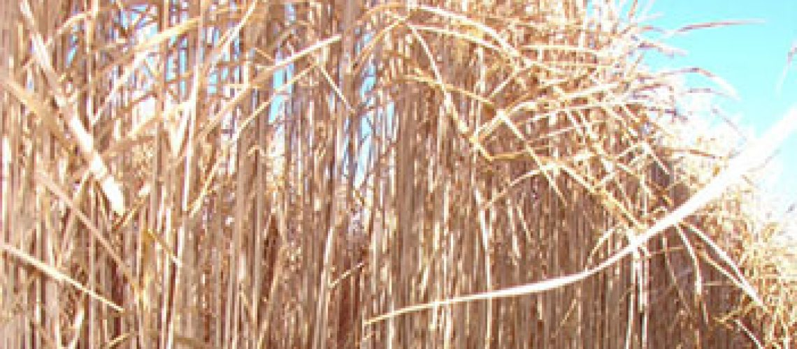 miscanthus-featured-02