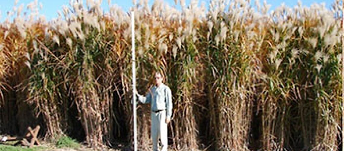 miscanthus-featured-03