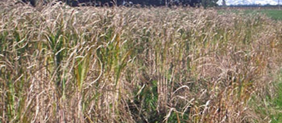 miscanthus-featured-05