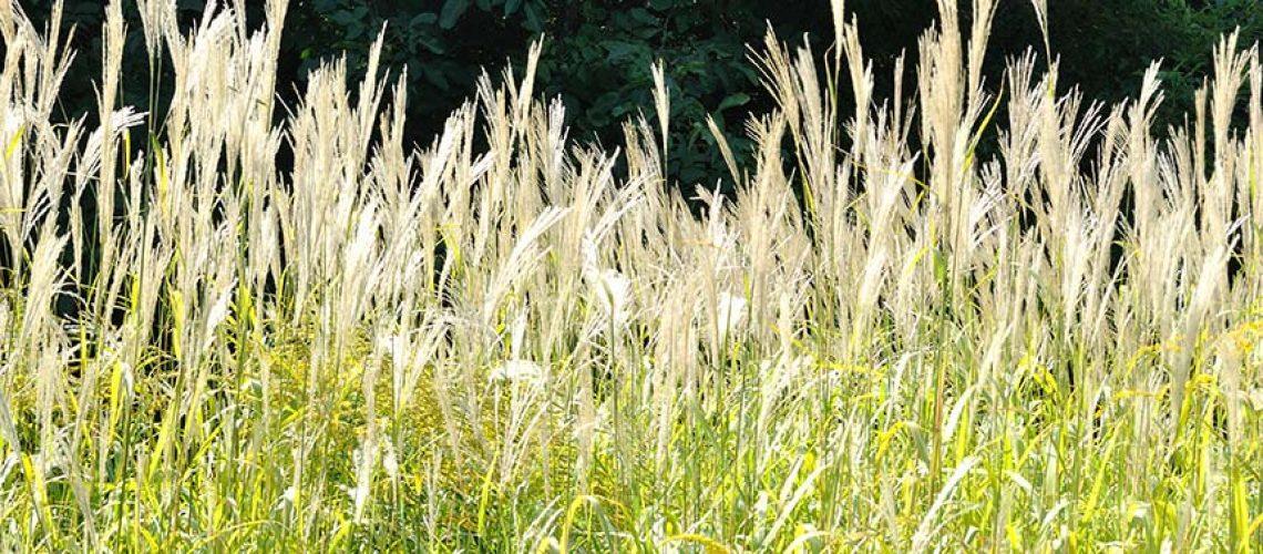 miscanthus-wind-break-biofuel